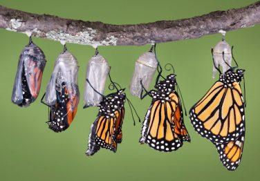 Butterflies-in-cocoons-emerging-1024x714
