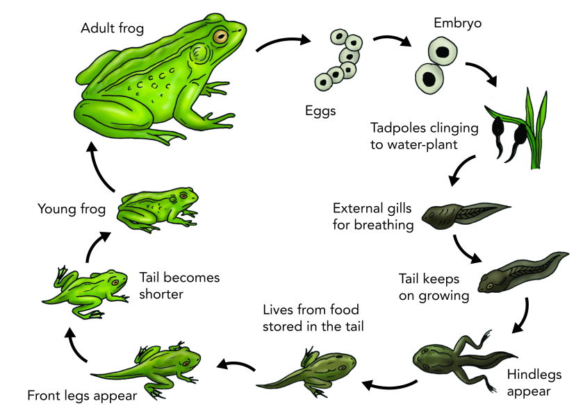 life-cycle-of-a-frog-2
